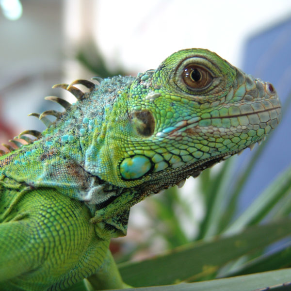 Iguane Vert - ©F. Mariotti